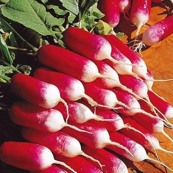 4 хитрости выращивания крупного редиса