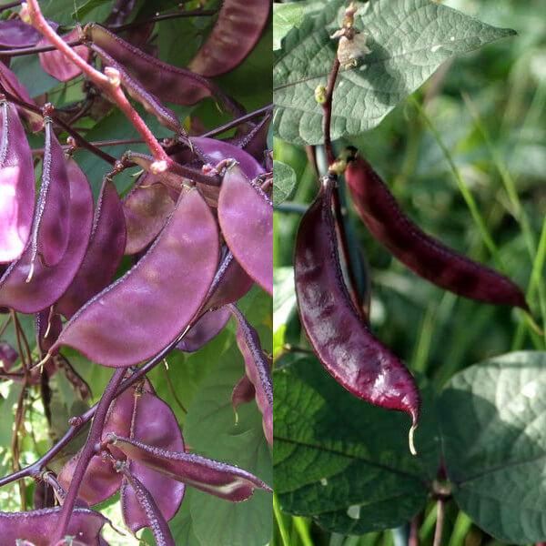 Цветы долихос или гиацинтовые бобы