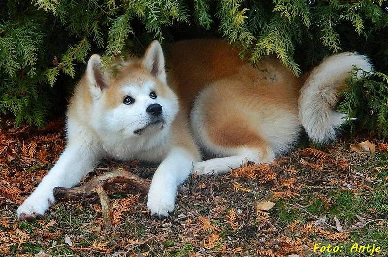 порода собак акита-ину фото