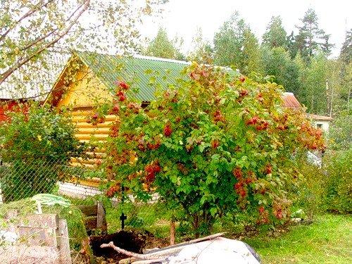 Можно ли сажать красную рябину рядом с домом 74