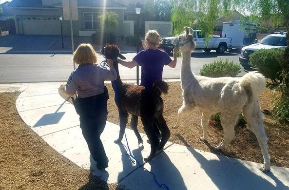 Сбежавшие ламы прогулялись по Лас-Вегасу