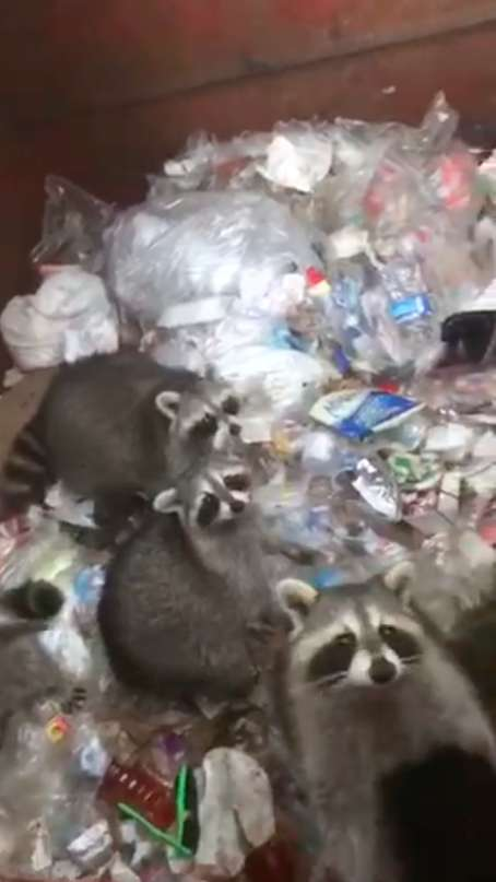 Из мусорного бака на мужчину смотрели 6 пар глаз! В поисках еды еноты оказались в ловушке…