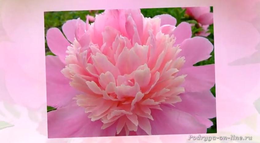 Пион - король цветов. Красив…