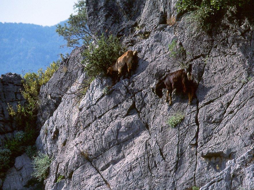 crazygoats12 Козлы, которым не ведома боязнь высоты