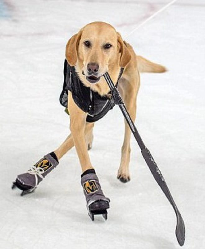 Четвероногая звезда: лабрадор, которого спасли от эвтаназии, покорил мир катанием на коньках!
