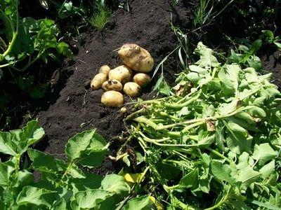 Использование картофельной ботвы (после сбора урожая) на приусадебном участке
