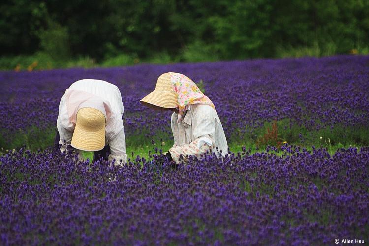 Лавандовая ферма.Япония