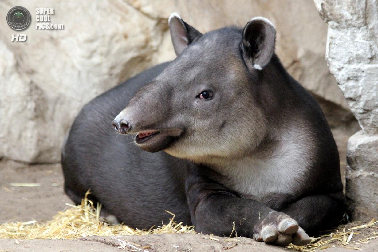 Видео сексуальная жизнь тапиров
