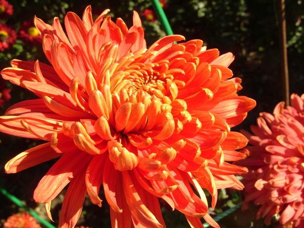 Хризантема сорт Осенний Мотив