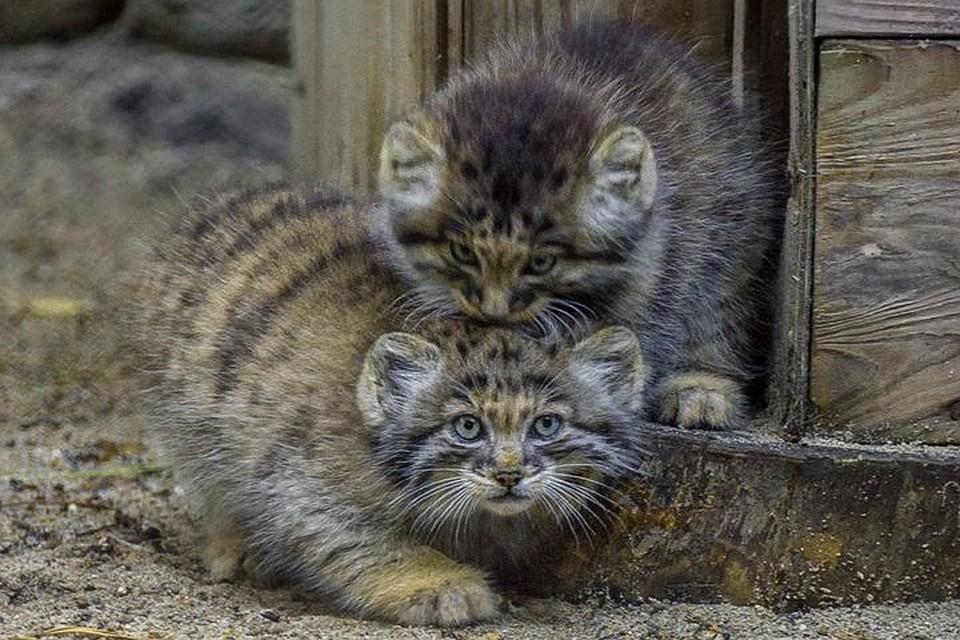 Попробуй погладь: Кошка стала приемной мамой для диких котят-манулов