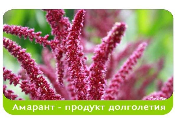Амарант -целебное растение долголетия