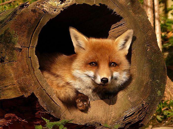 fox_20120409_00640_002 (700x500, 95Kb)