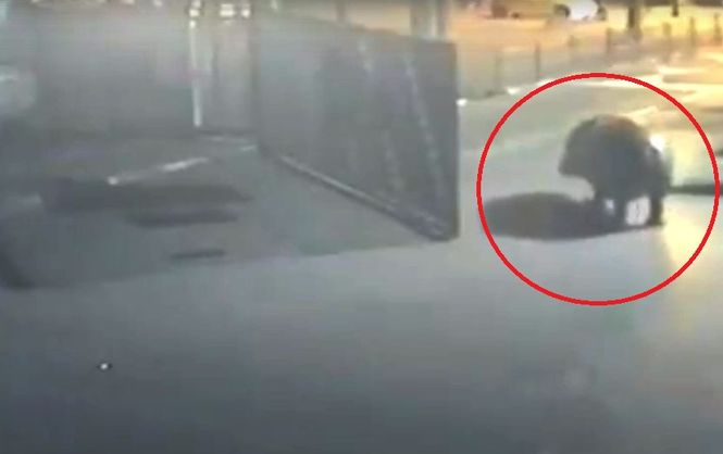 В Израиле бегемот сбежал из зоопарка, но разочаровался в реальности и вернулся