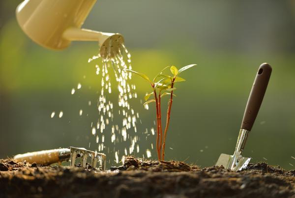 Полив очень важен пересаженным растениям