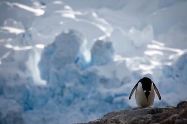 Жизнь пингвинов Антарктики