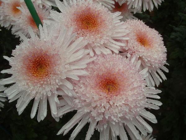 Не уступает ему по красоте хризантема сорт Eleanor White