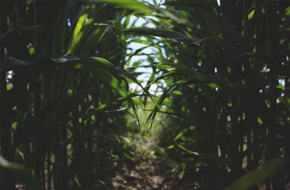Собака выследила и спасла ребенка, заблудившегося в кукурузном поле