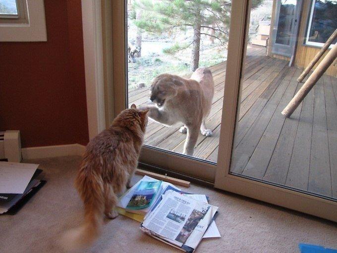 Встреча пумы и кота
