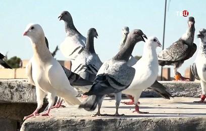 Мирный Алеппо: жители города восстанавливают голубятни