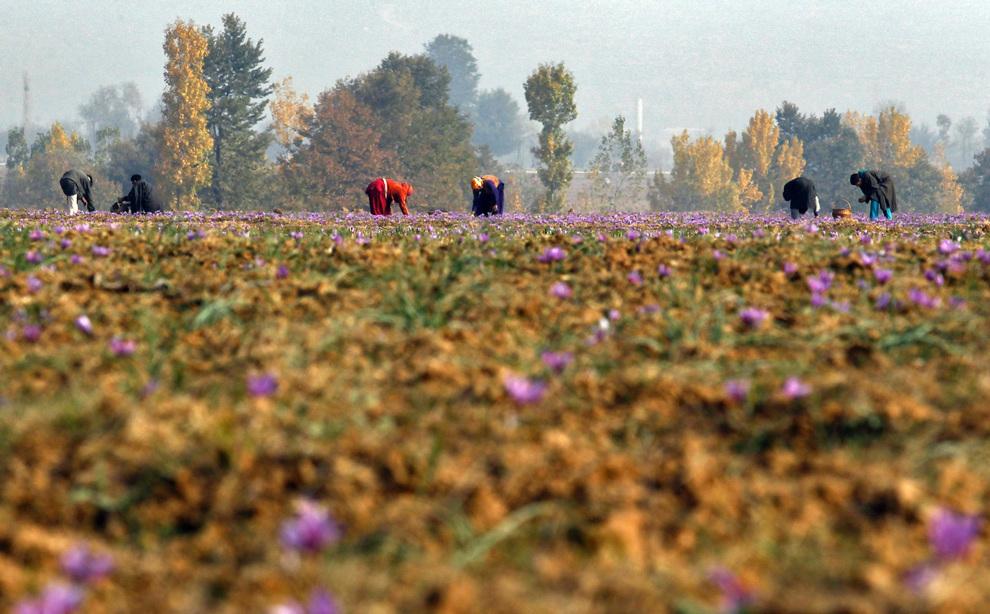 shaffron12 Шафран, сокровище из Кашмира