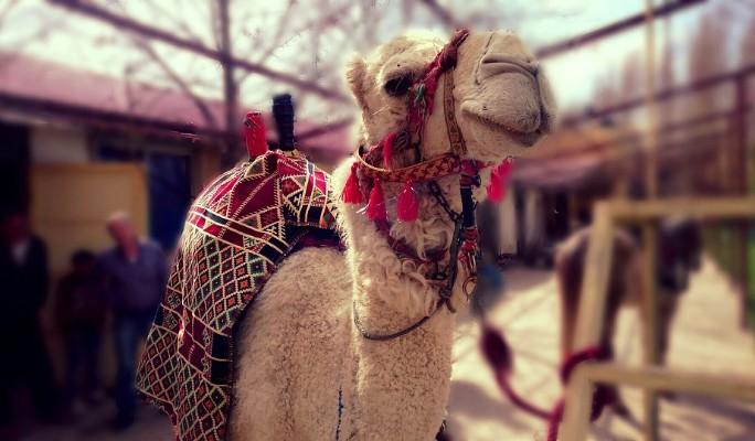 Верблюд устроил ДТП на трасс…