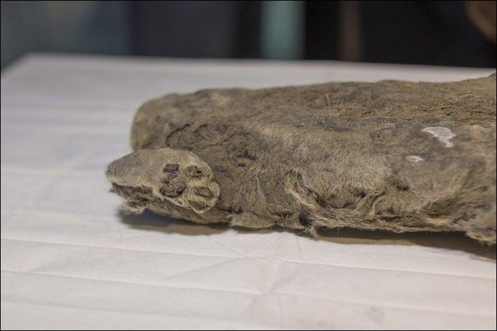 Учёные хотят клонировать 50-тысячелетнего пещерного львёнка, обнаруженного в Сибири животные, львенок, находка, сибирь, ученные