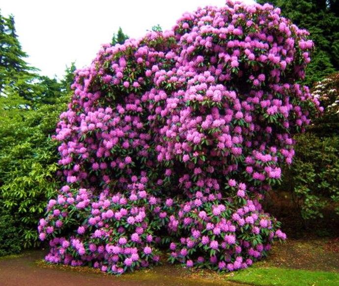 Облака из цветущих кустов нежных пастельных и ярких цветов украшают любое место