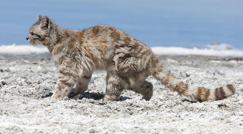 Андская кошка в мире, живность, животные, интересное, коты, кошки, подборка, хищник