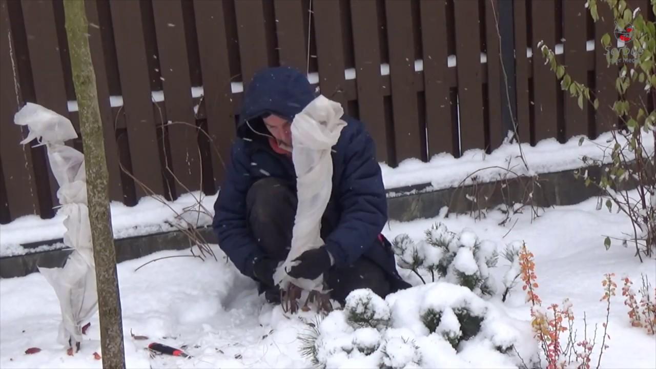 Опыт укрытия садовых растений на зиму