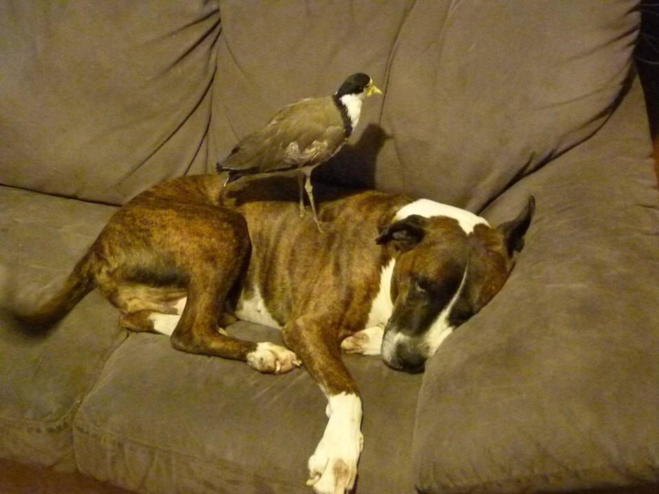 Любимое место осиротевшей птички – спина ее верного друга