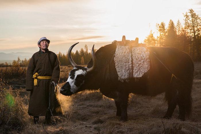 Длинношерстный бык отлично приспособлен к горным условиям Монголии.