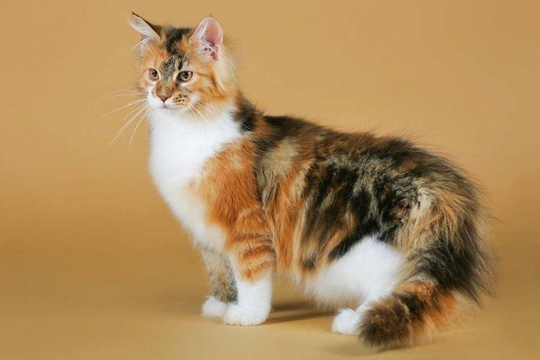 Бенгальская кошка описание фото стандарт