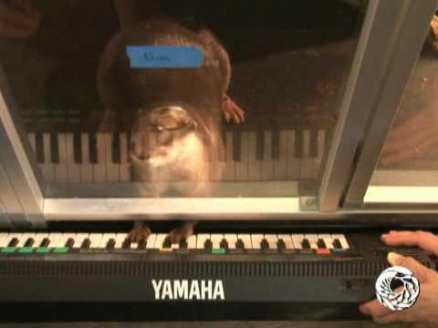Пресноводная выдра играет на клавишах