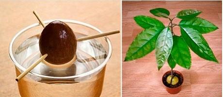 Можно ли вырастить авокадо из косточки?