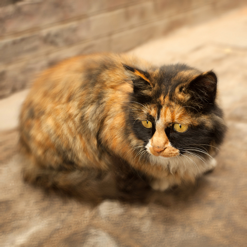 КОШКИН ДОМ. Окрасы кошек. Кошки редких окрасов