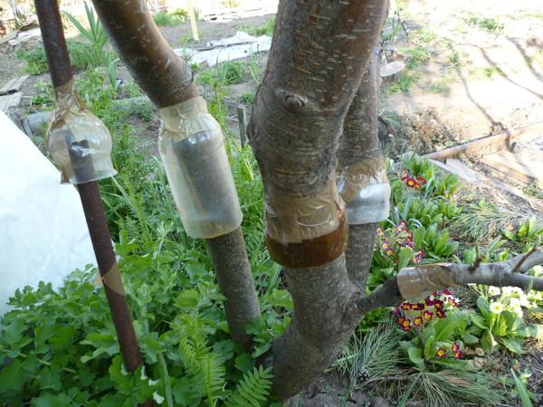Ловчие пояса от вредителей из пластиковых бутылок