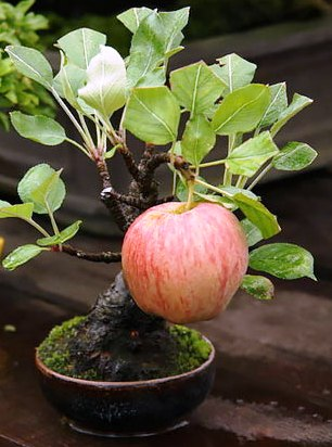 Дерево, радующее глаз и не сложное в уходе —  бонсай. И даже фрукты дает!