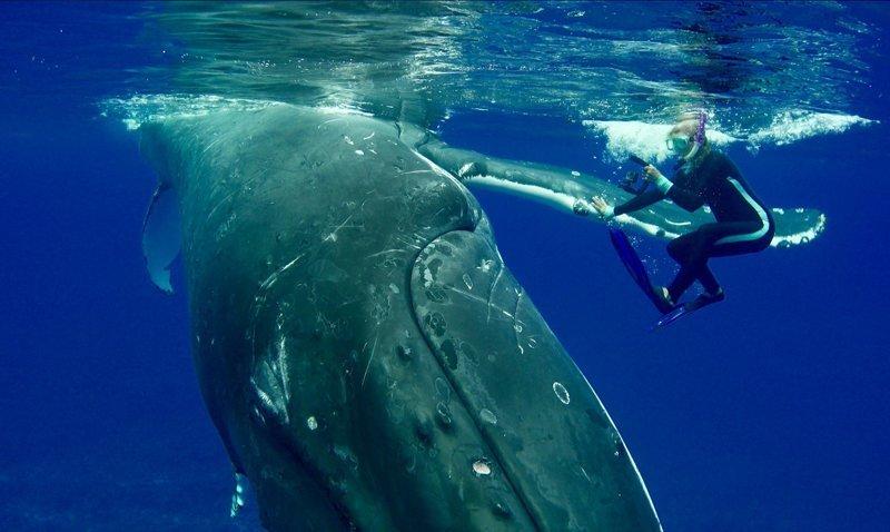 50-тонный горбатый кит защитил дайвера от тигровой акулы