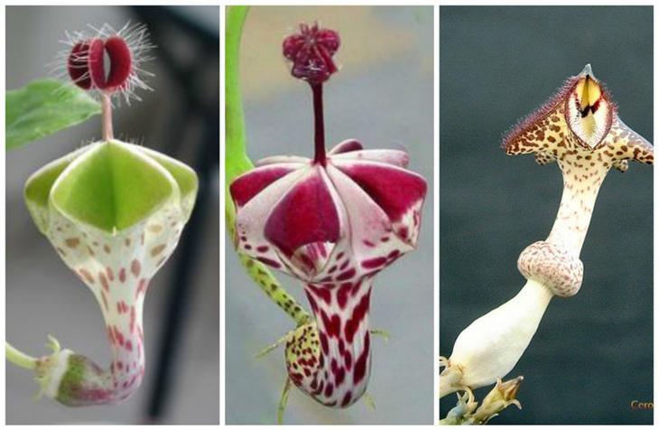 Церопегия (лат. Ceropegia) — род цветковых растений, относящийся семейству Кутровые (Apocynaceae). В природе распространены в тропических регионах Африки и Азии. красота, особенные, природа, растения, флора, цветы