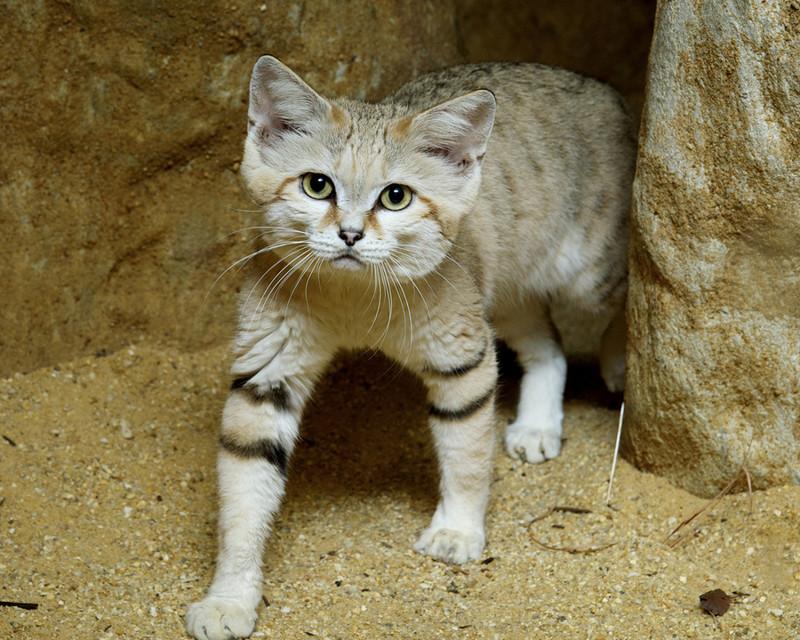 10 редких диких котов, о которых слышали лишь немногие
