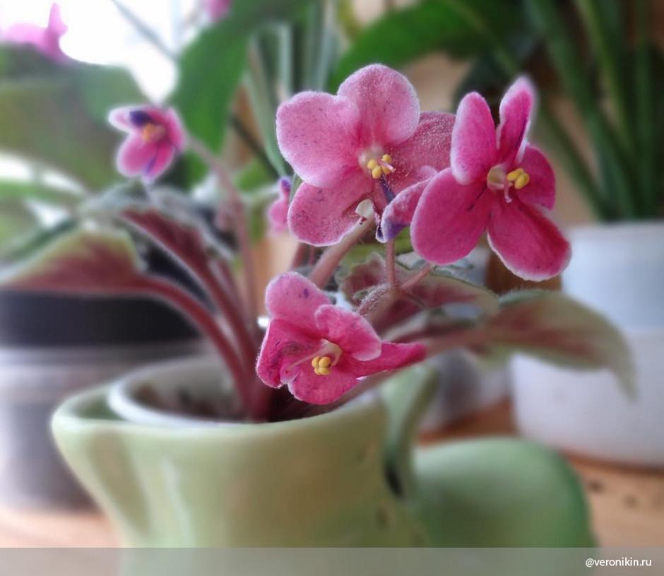 Уход за фиалками в домашних условиях цветение