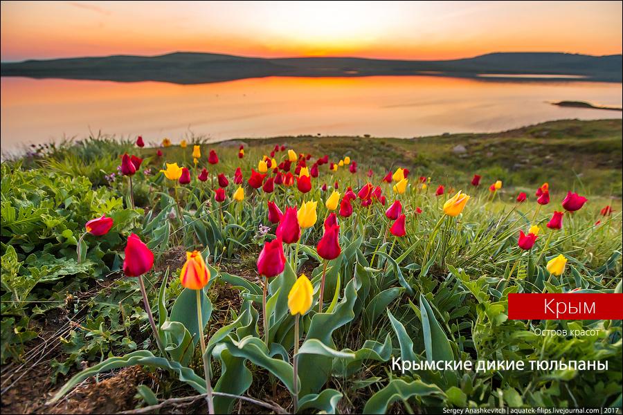 Крымские дикие тюльпаны. Феерически красиво!
