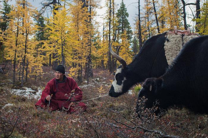 Монгол выпасает домашних длинношерстных быков.