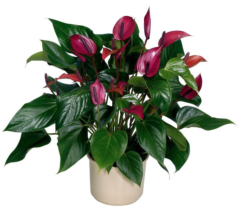 Комнатные растения антуриум фото