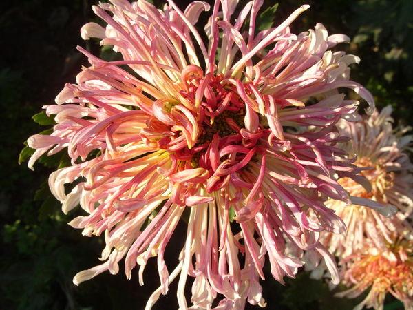 Хризантема сорт Грация
