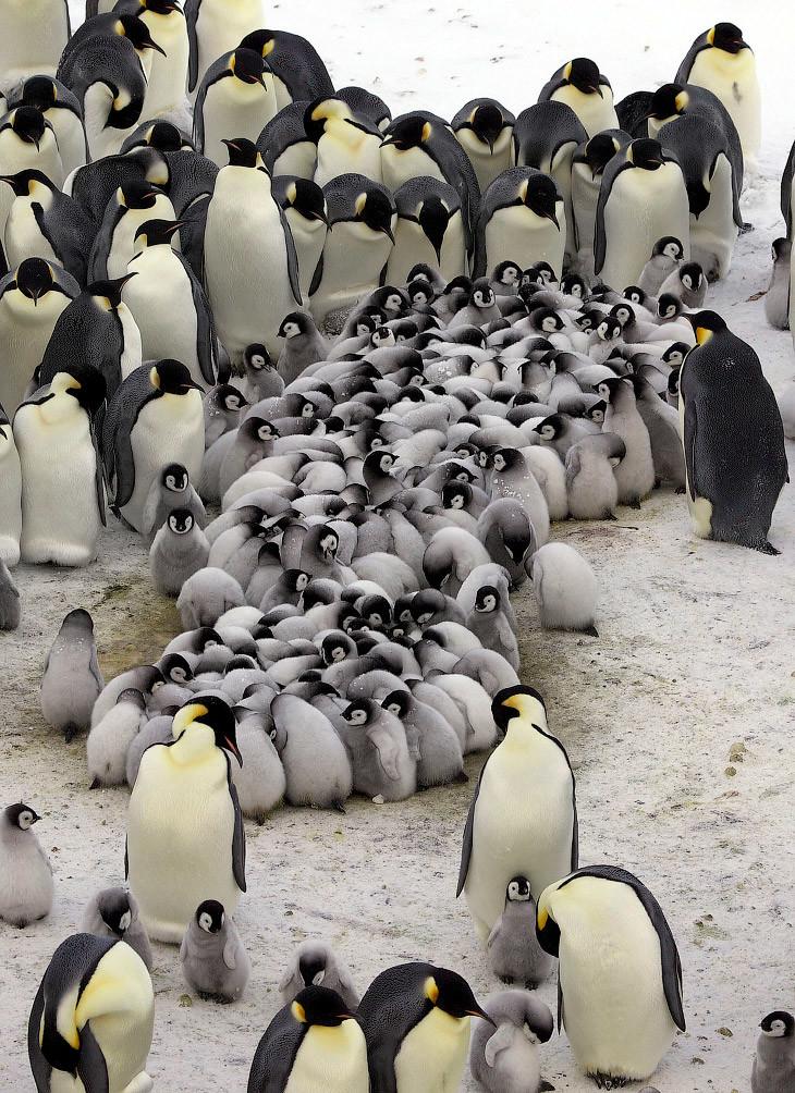 Как греются пингвины