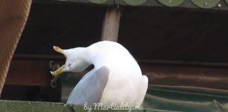 Заразительный смех чайки. Никто не устоит!