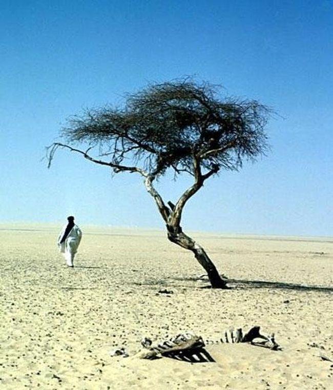 А это - самое одинокое дерево на планете - акация Тенере в пустыне Сахара... В радиусе 250 миль не было больше ни одного дерева...Теперь нет и его - было сломано пьяным ливийцем на грузовике...