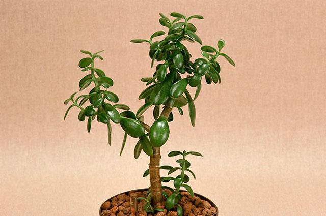 Денежное дерево в народной медицине