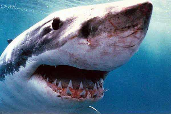 Акула из Нью-Джерси